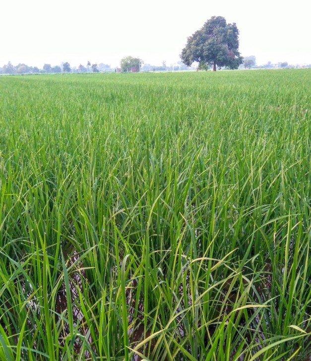 rice green small